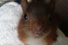 Eichhörnchen Hermann